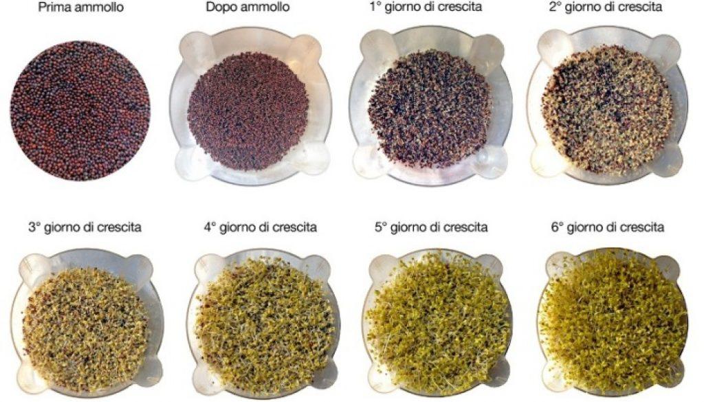 broccoli-germinazione