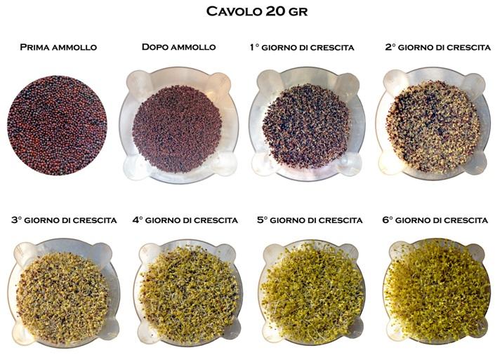 germogli-cavolo-germinazione