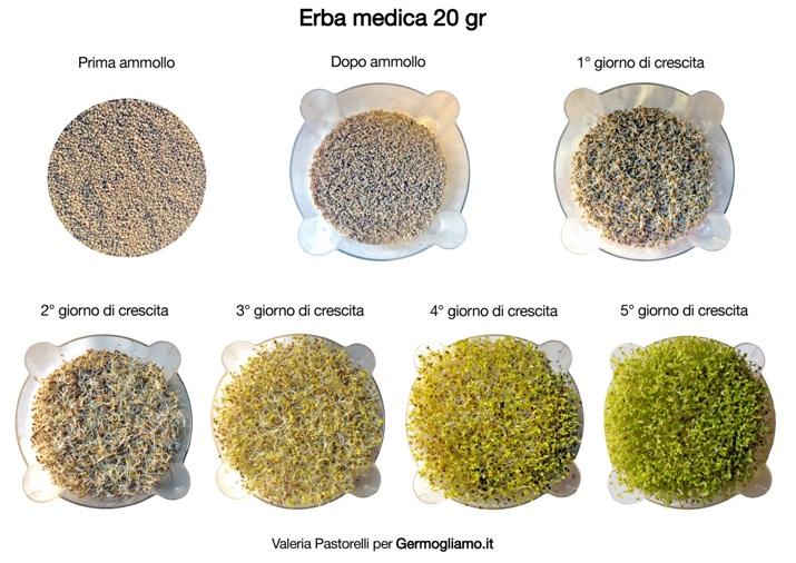 germogli-alfalfa-germinazione