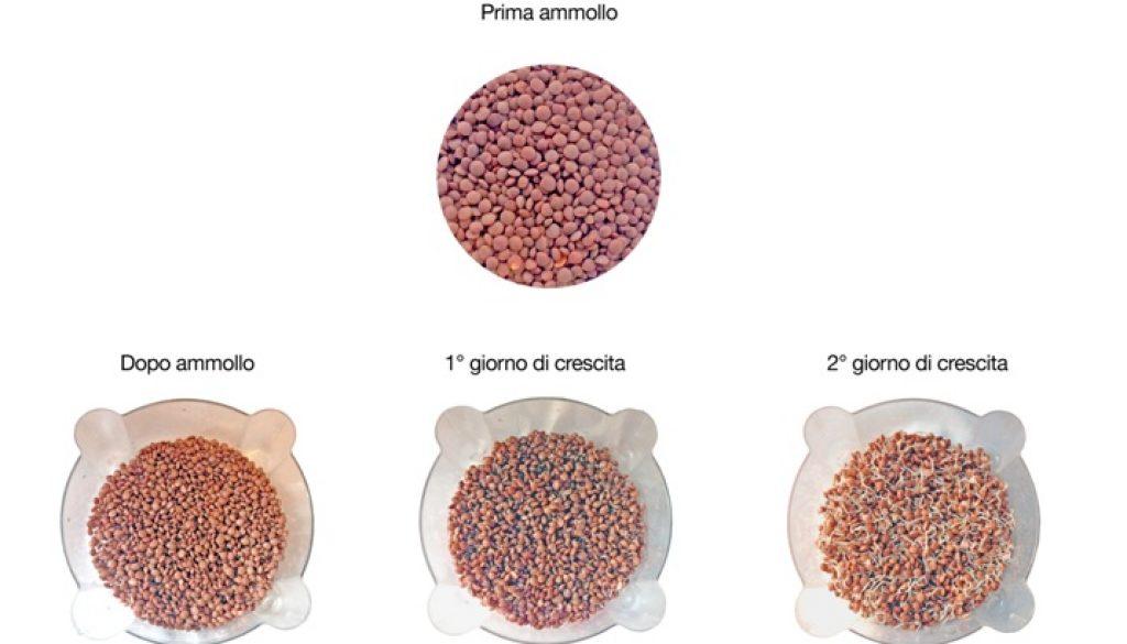 lenticchie-germinazione