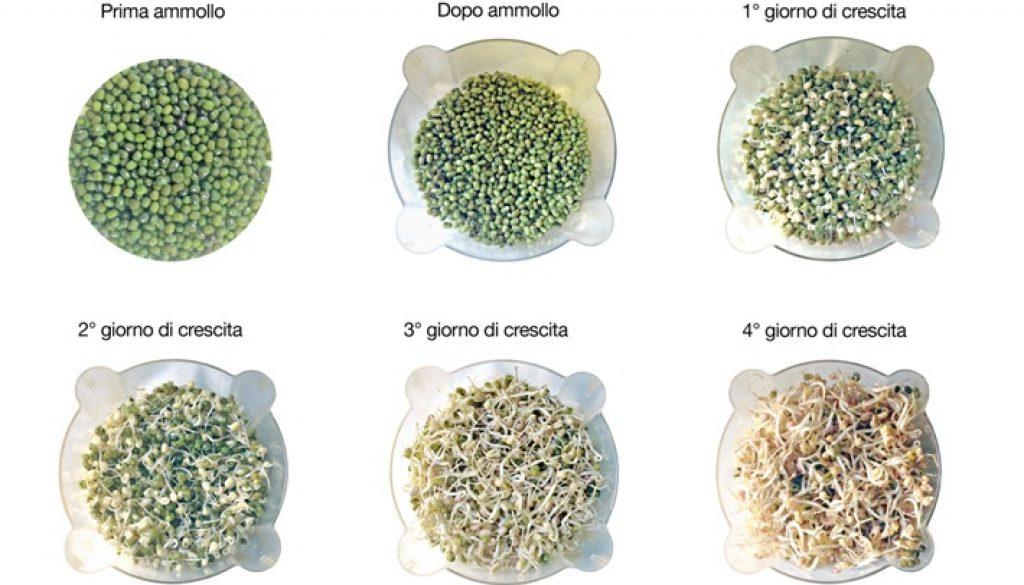 mungo-germinazione