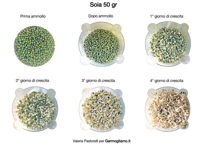 germogli-soia-germinazione